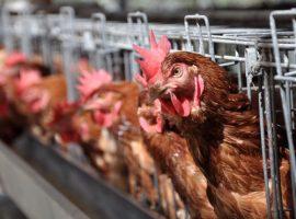 انخفاض أسعار البيض واستقرار الدواجن